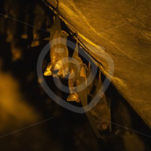 Leaf-nosed bats in their cave - Nature Stock Photo Agency