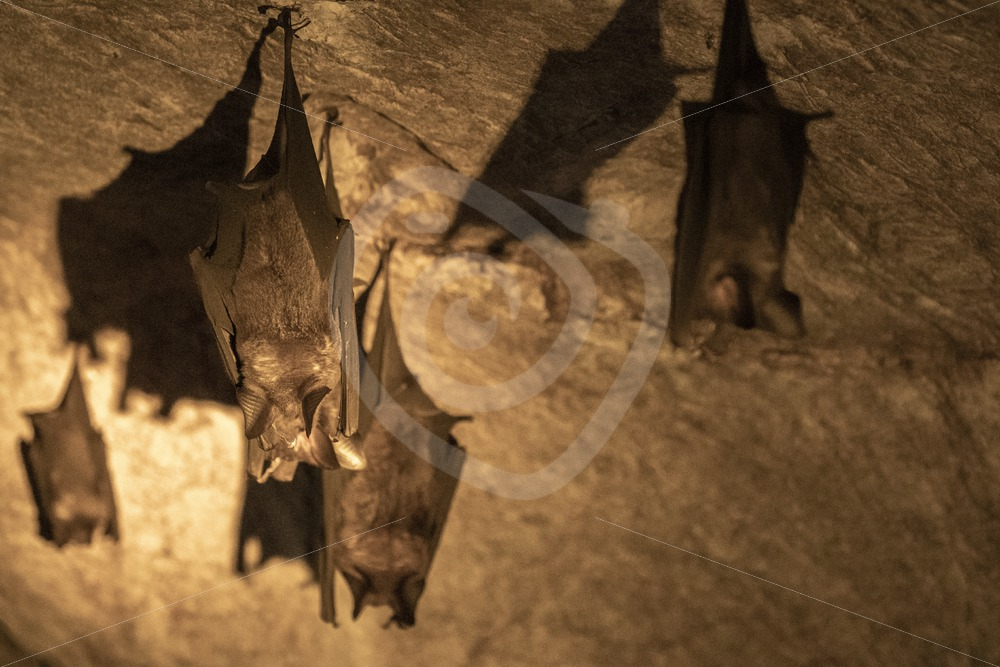 Leaf-nosed bats in their cave in Kilim Geoforest Park - Nature Stock Photo Agency