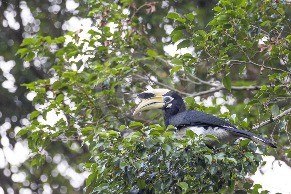 Male oriental pied hornbill in the strees - Nature Stock Photo Agency