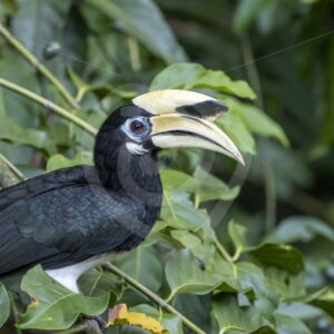 Male oriental pied hornbill posing between the leaves - Nature Stock Photo Agency