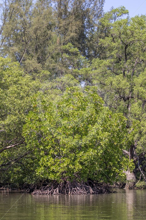 Mangroves in Kilim Geopark Forest - Nature Stock Photo Agency