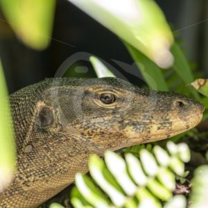 Monitor lizard close up - Nature Stock Photo Agency