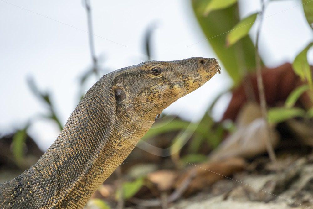 Monitor lizard lifting up its head - Nature Stock Photo Agency