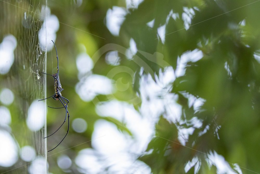 Northern Golden Orb spider from sideview - Nature Stock Photo Agency