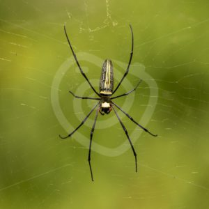 Northern golden orb weaver central portrait - Nature Stock Photo Agency