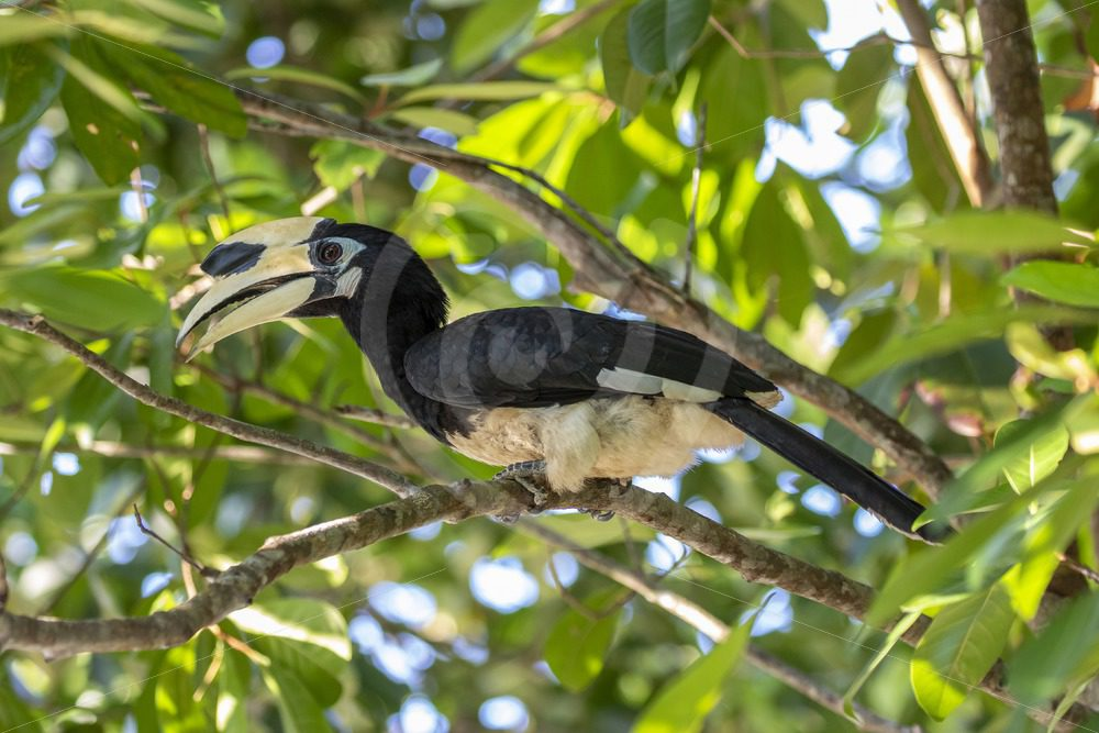 Oriental Pied hornbill in the lower tree canopy - Nature Stock Photo Agency