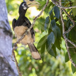 Oriental Pied hornbill looking for a mating partner - Nature Stock Photo Agency
