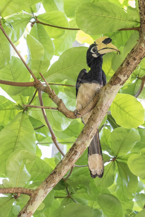 Oriental pied hornbill between the canopy leaves - Nature Stock Photo Agency