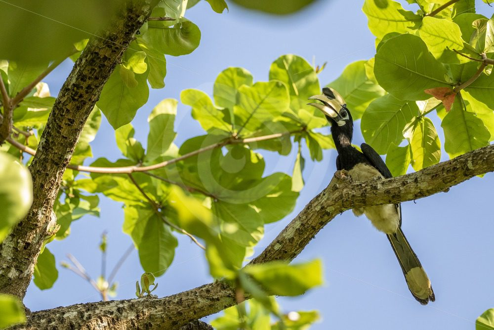 Oriental pied hornbill in the canopy - Nature Stock Photo Agency