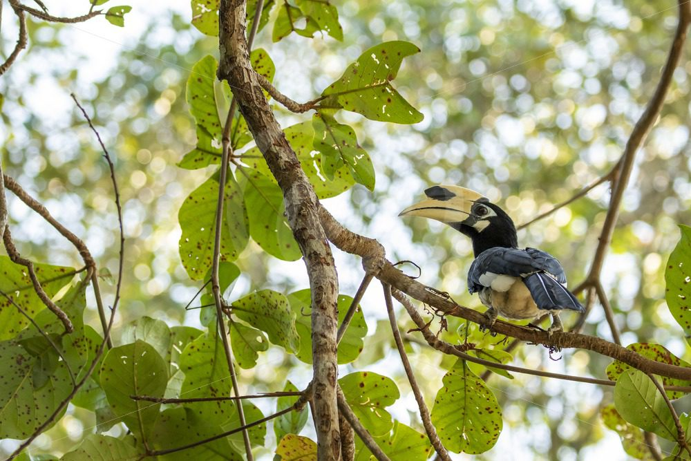 Oriental-pied hornbill in the trees - Nature Stock Photo Agency