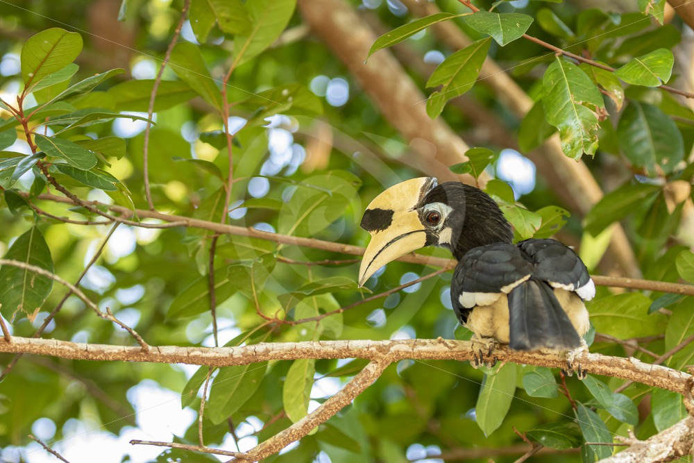 Oriental pied hornbill looking down from the canopy - Nature Stock Photo Agency
