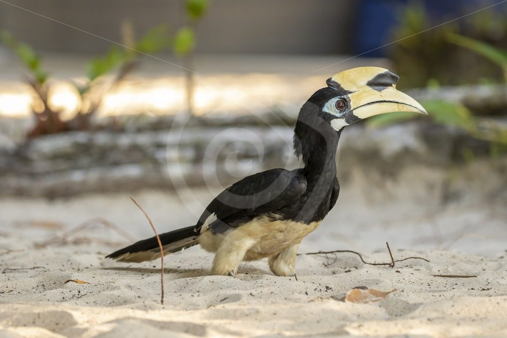 Oriental pied hornbill sitting on the beach - Nature Stock Photo Agency