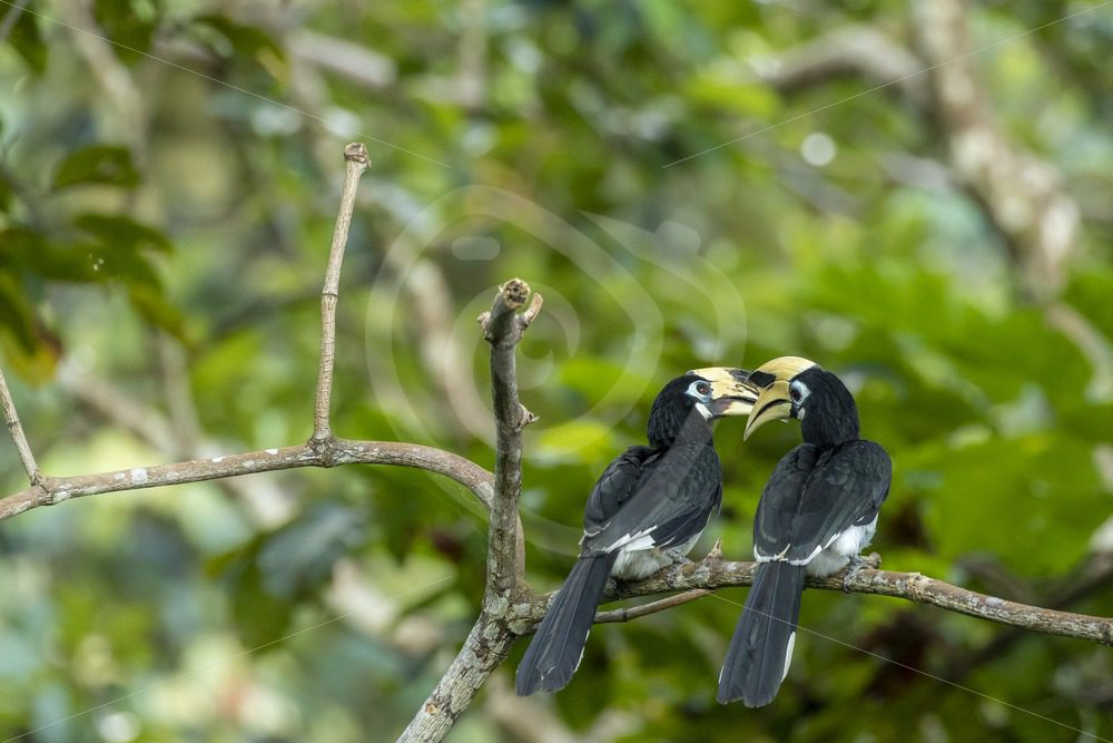 Romantic couple of Oriental Pied hornbills - Nature Stock Photo Agency
