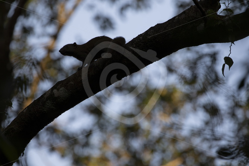 Slender squirrel silhouette in the trees - Nature Stock Photo Agency