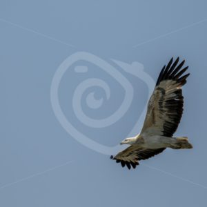 White-bellied sea eagle flying over Datai Bay - Nature Stock Photo Agency