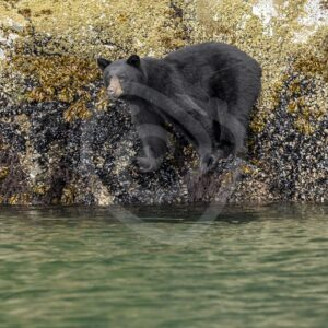 Black bear looking for some crustaceans - Nature Stock Photo Agency