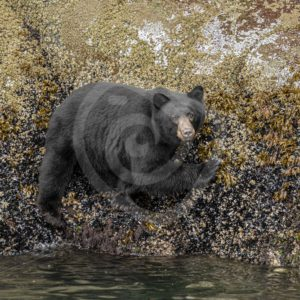 Black bear walking the shores for crustaceans - Nature Stock Photo Agency