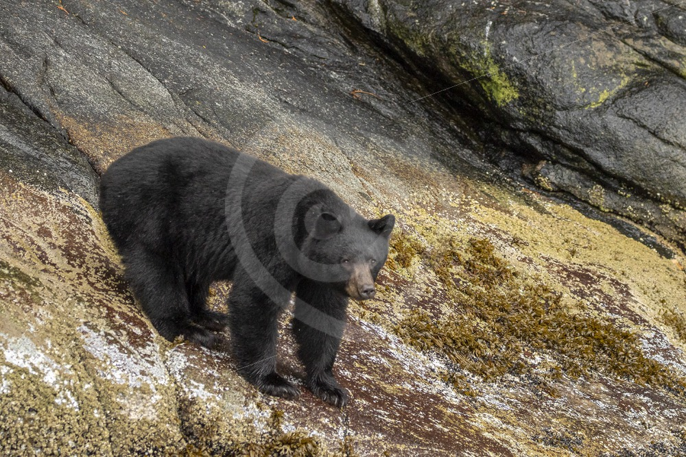 Black bear walking the shores of the Vancouver inlets - Nature Stock Photo Agency