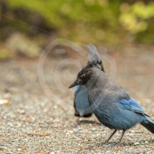 Blue Jays checking the walking path - Nature Stock Photo Agency