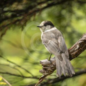 Canada Jay posing in the forest - Nature Stock Photo Agency