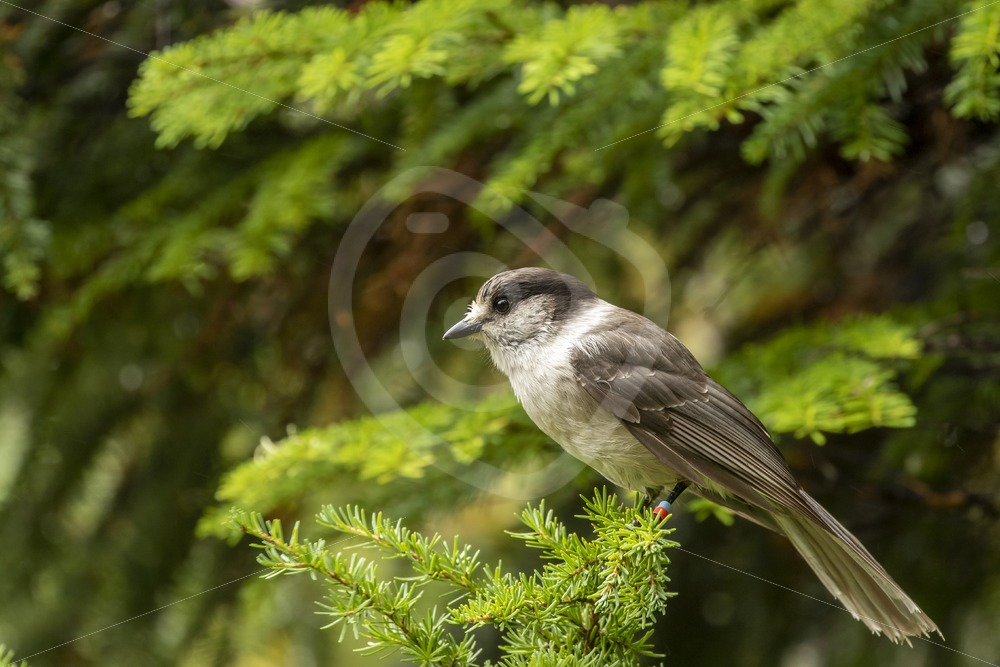 Canada jay in the forest near Paradise Meadows - Nature Stock Photo Agency