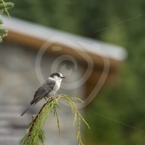 Canada jay near the forest lodge - Nature Stock Photo Agency