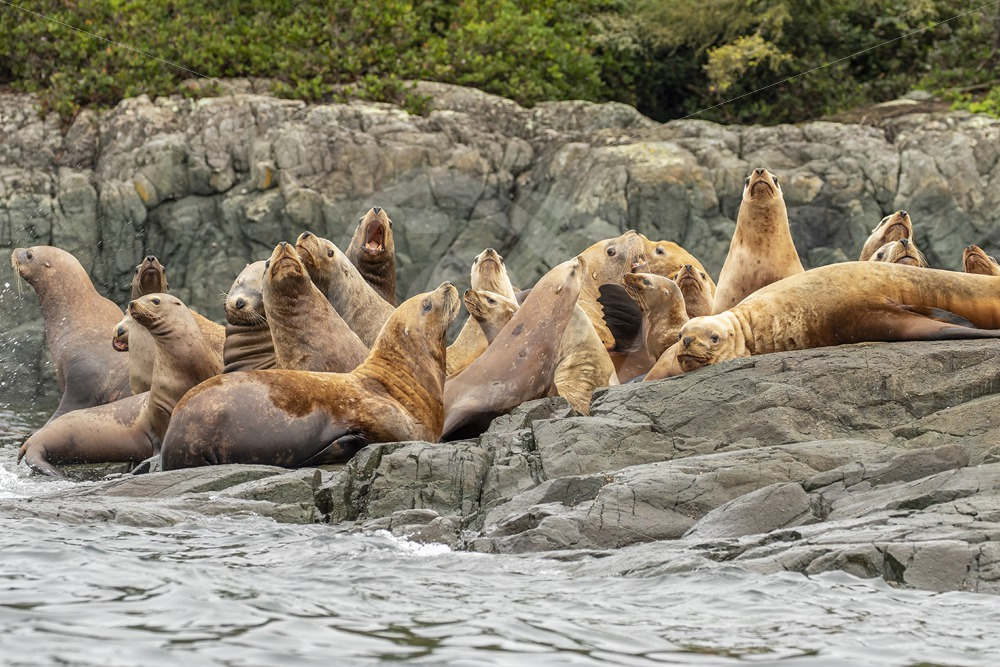 Colony of Steller's sea lions on the shore - Nature Stock Photo Agency