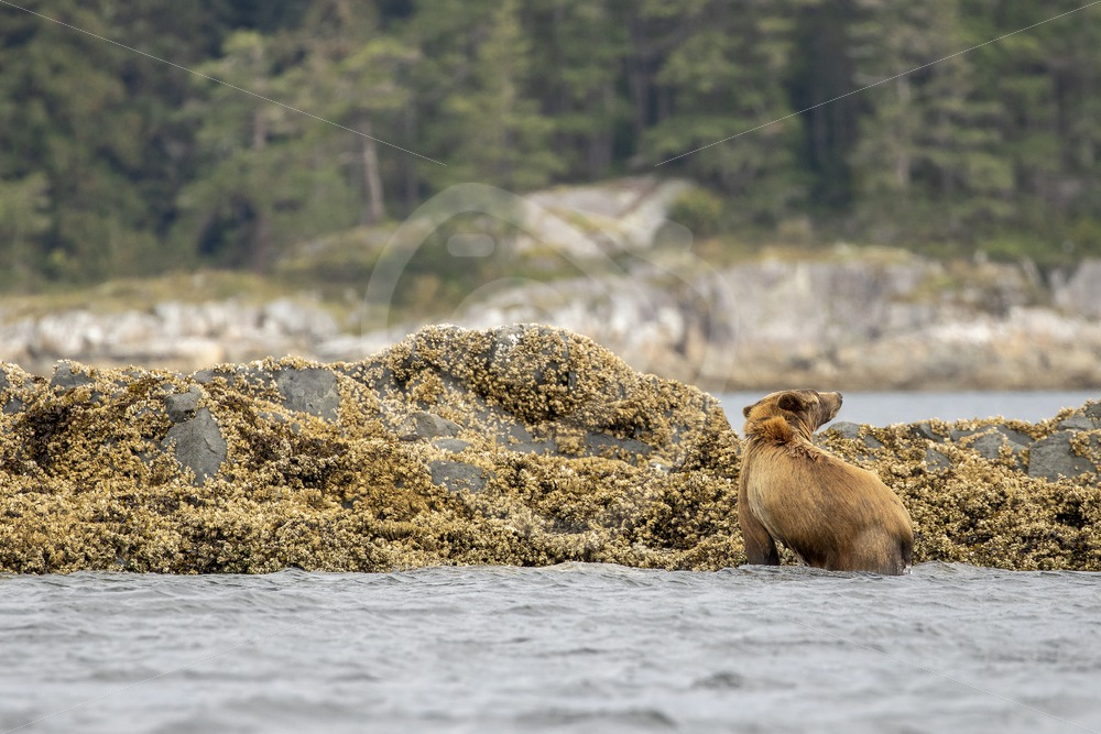 Grizzly bear coming out of the water after a swim - Nature Stock Photo Agency