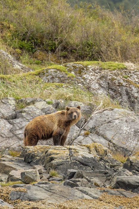 Grizzly bear posing on a rock - Nature Stock Photo Agency