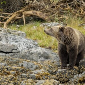 Grizzly bear smells something in the air - Nature Stock Photo Agency