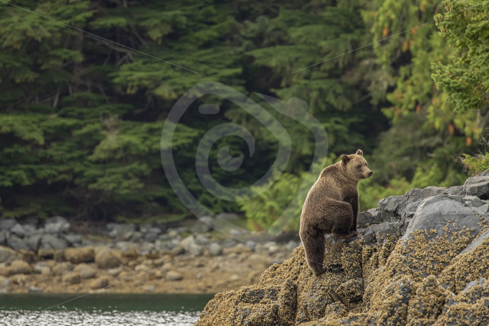 Grizzly bear walking the shores of the great bear forest - Nature Stock Photo Agency