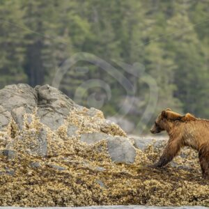 Grizzly with broken front leg struggling to get on shore - Nature Stock Photo Agency