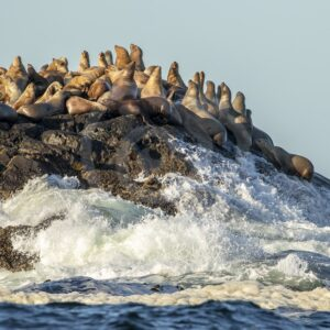 Group of Steller's sea lions on a rock near Tofino - Nature Stock Photo Agency