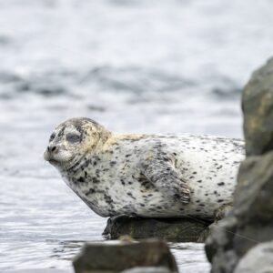Harbor seal balancing on a rock, Vancouver Island - Nature Stock Photo Agency