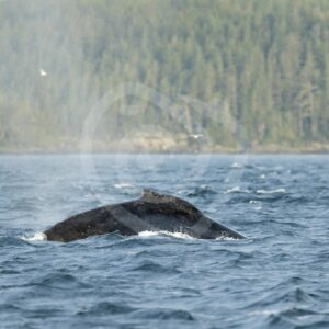 Humpback whale near Alert Bay, Vancouver Island - Nature Stock Photo Agency