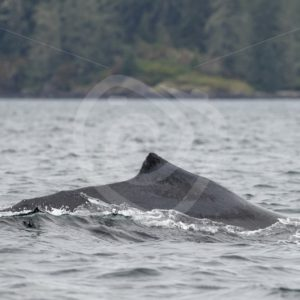 Humpback whale swimming in the Vancouver inlets - Nature Stock Photo Agency