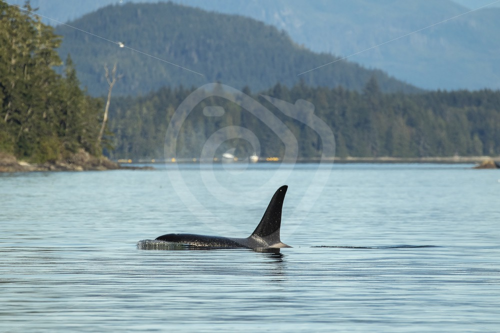 Killer whale swimming through the inlets near Alert Bay - Nature Stock Photo Agency