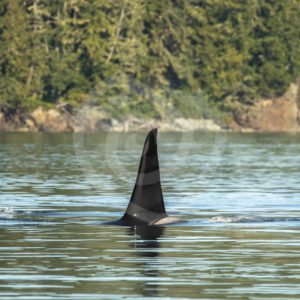 Large orca bull swimming in the Vancouver inlets - Nature Stock Photo Agency