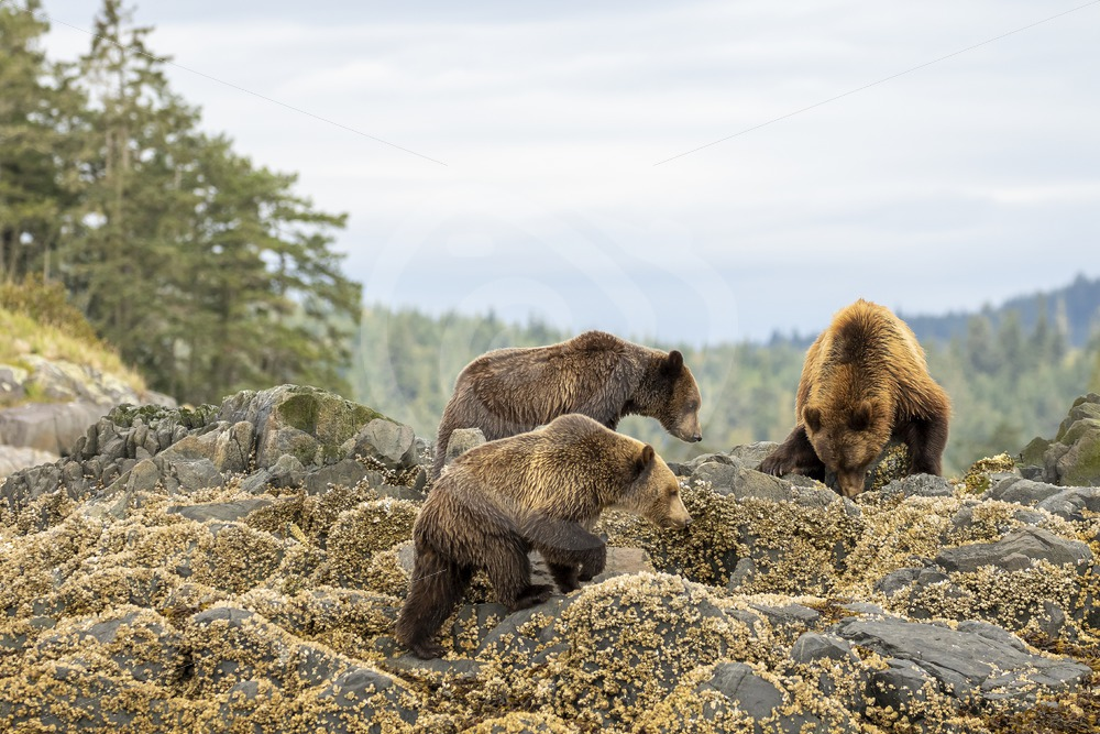 Mother grizzly bear with 2 juveniles looking for some crustaceans - Nature Stock Photo Agency
