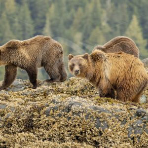 Mother grizzly bear with 2 juveniles on the shore - Nature Stock Photo Agency