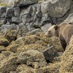 North American brown bear walking the shores - Nature Stock Photo Agency