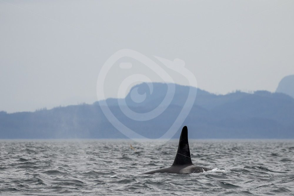 Orca swimming between Vancouver Island and Alert Bay - Nature Stock Photo Agency