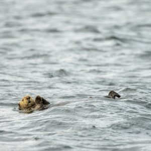 Sea otter drifting on its back in the water - Nature Stock Photo Agency