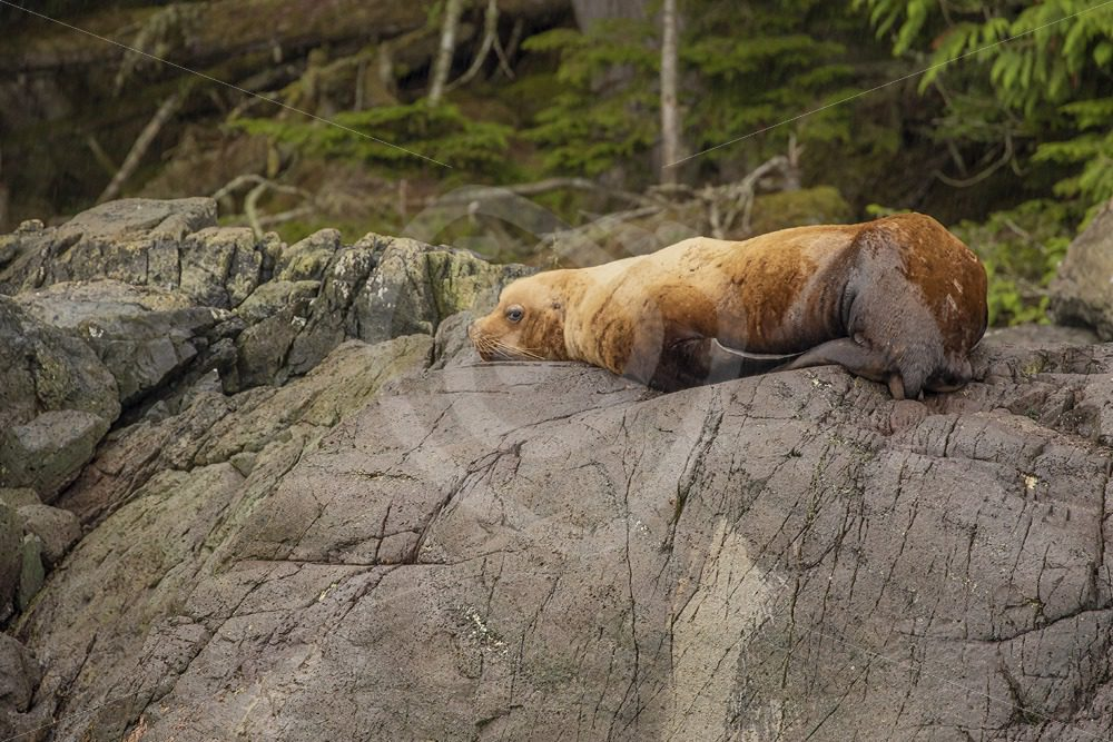 Single Steller's sea lion resting on a rock - Nature Stock Photo Agency