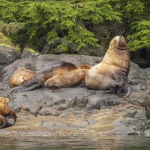 Small group of Steller's sea lions with a big male - Nature Stock Photo Agency