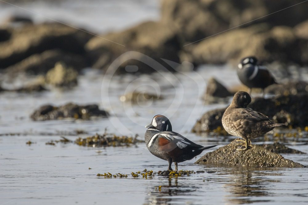 Small group of harlequin ducks on Paradise Beach, Vancouver Island - Nature Stock Photo Agency