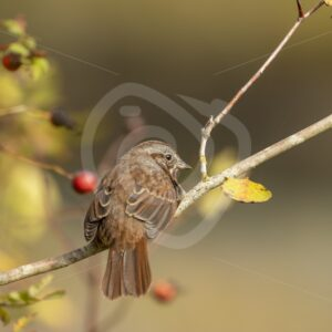 Song sparrow in Canadian woods - Nature Stock Photo Agency