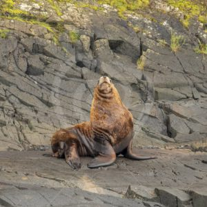 Steller's sea lion posing on the shore - Nature Stock Photo Agency