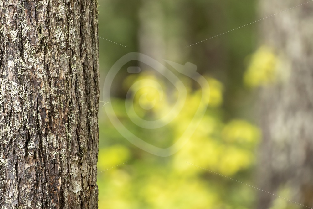 Tree in the forest of Paradise Meadows, Vancouver Island - Nature Stock Photo Agency