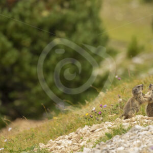 2 juvenile alpine marmots playing around - Nature Stock Photo Agency